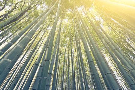 Bamboo forest with sky at Arashiyama, Kyoto, Japan.