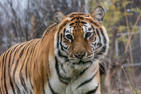 The Amur Tiger (panthera Tigris Tigris, Formerly Known As The Si